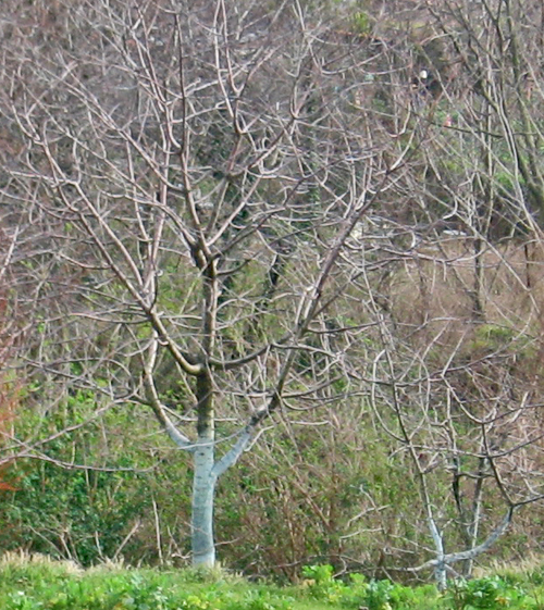 alberi azzurri