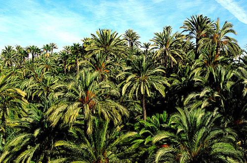 palmeralelche
