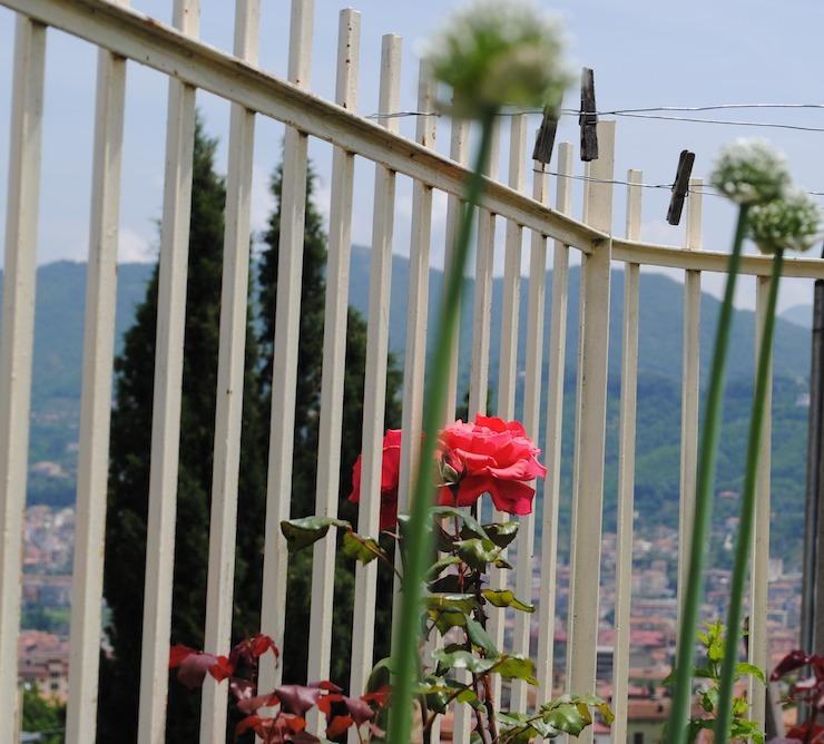 porri fioriti in giardino