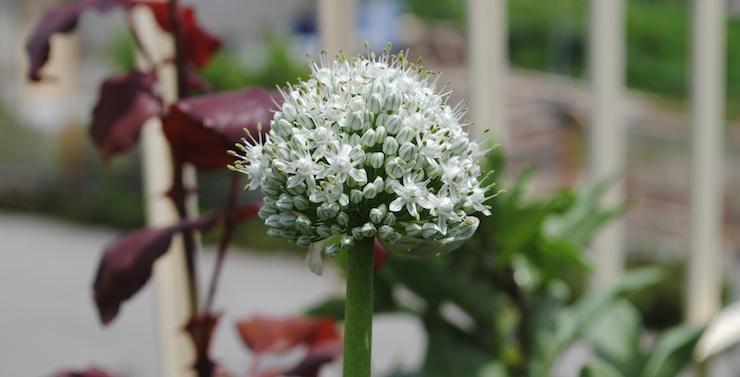 porro in fiore in giardino